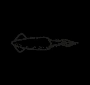 calamar california loligo opalescens