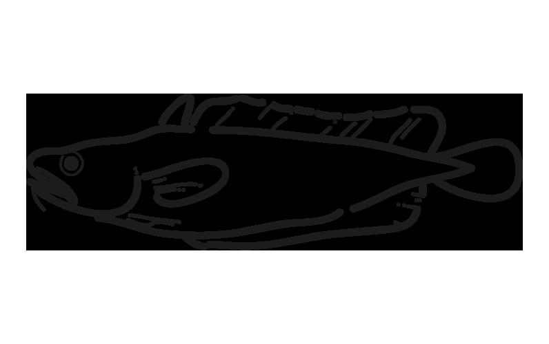 brotola salilota australis