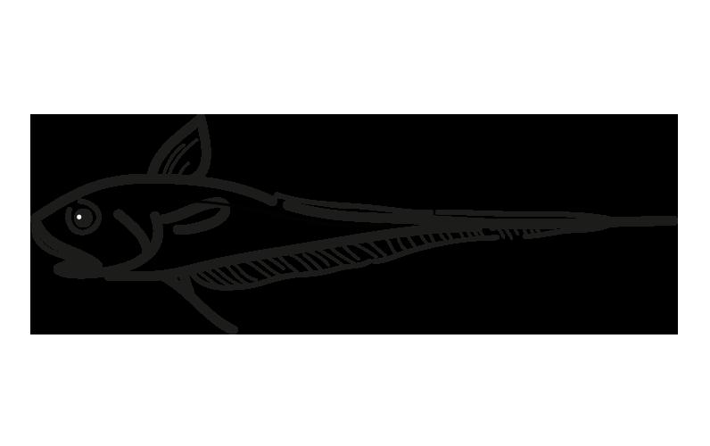 granadero macrourus berglax-coryphaenoides rupestris macrourus holotrachys pleoticus muelleri