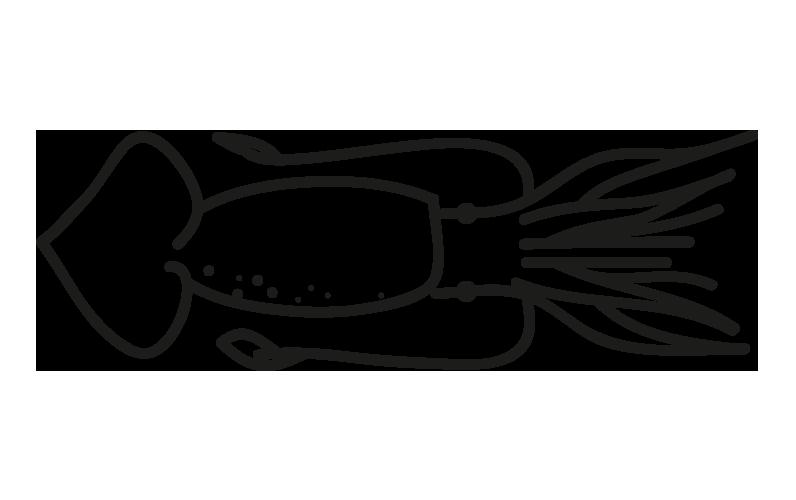 pota illex argentinus todarodes spp illex illecebrosus