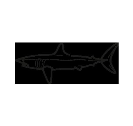 pescado marrajo Isurus oxyrinchus